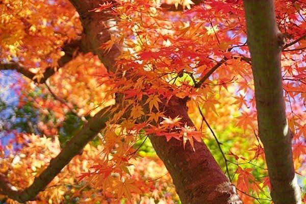 落ち葉の森でイロハモミジの美しい紅葉を見る事ができます。